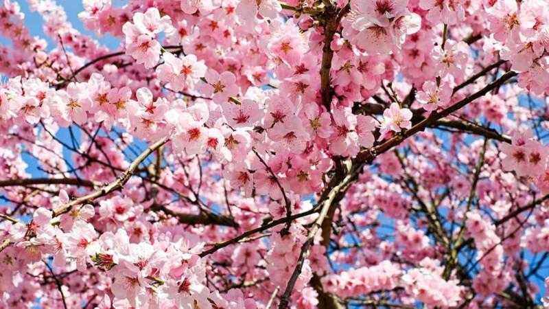 いつから入学式に桜が咲いていると錯覚していた?